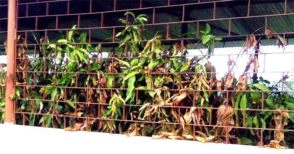 अल्लाडी ग्राम पंचायत में रखे-रखे सूख गए आम के पौधे