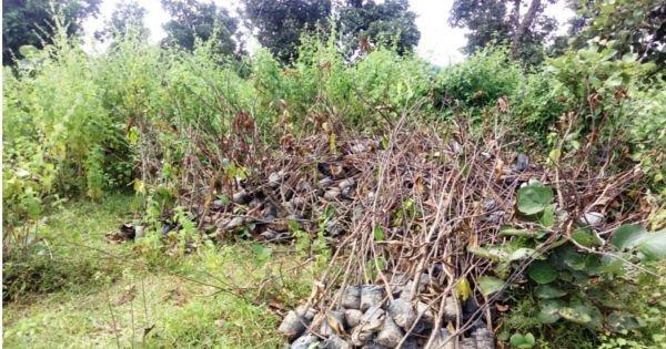 सूखे हुए आम के पौधे : अल्लाडी ग्राम पंचायत द्वारा फेंके गए